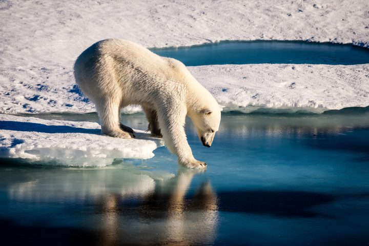 A beautiful polar bear is carefully touching the sea surface in order to cross a melt pond in the high Arctic Ocean, which is strongly influenced by climate change.